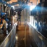 Remisión de leche a planta cayó 19% en mayo