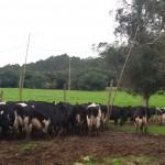 Precio de leche pago al productor tuvo leve caída en junio