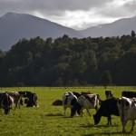 La producción de leche en Nueva Zelanda continúa en caída