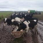 Inundaciones generan pérdidas millonarias para el sector lechero argentino