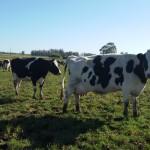 MGAP y BROU trabajan en línea de crédito a largo plazo para productores lecheros