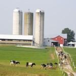 Faena de vacas lecheras en EEUU sigue en aumento, pese a mejora de precios