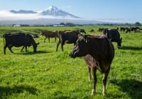 Ganado lechero Nueva Zelanda 2